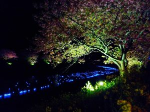 寒桜 菜の花 cherry blossom south of izu night 夜桜